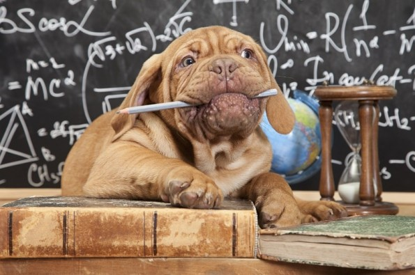 French Mastiff puppy chewing a pencil in front of blackboard